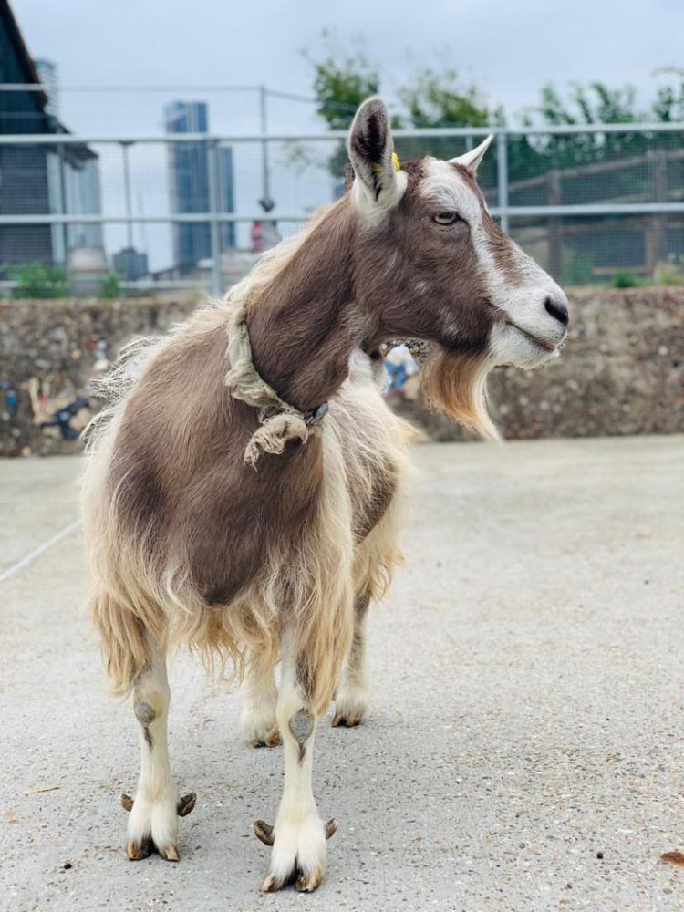 Best Goat Beard: Surrey Docks Farm